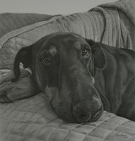 Commission - Dobermann 'Nelson' by Captured-In-Pencil