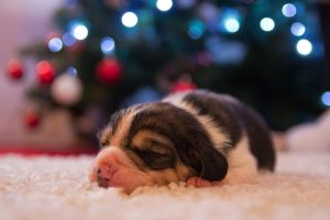 Puppy at Christmas by adambrowning