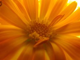 Marigold Sun by Embrace-The-Night