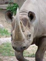 Black Rhino by JsseGrrrl