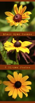 Black Eyed Susan Yellow Flower by stockinthecorridors