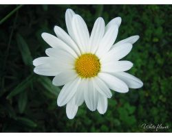 White flower by love1008