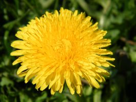 Dandelion in the sun by bigunknown