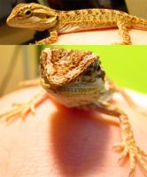 My Bearded Dragon by shtuff4avacadoes