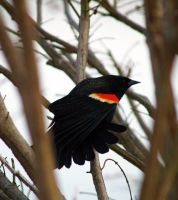 Redwinged Blackbird by Kaosah