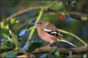 Chaffinch by cycoze
