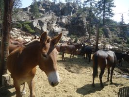 Pack Mules at Kennedy Meadows by chronitonic