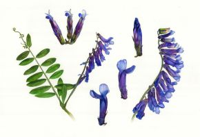 Vicia cracca - updated, scanned by Shelter85