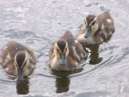 baby ducks by cirilli4301