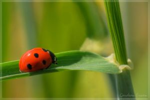 coccinelle by Balto-Wolf