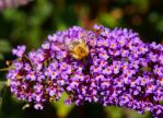 Bumble bee by Azul-Seahorse