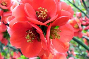 Flowering Quince by dmguthery