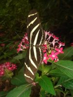 Zebra Longwing by SeriantSlyjarr