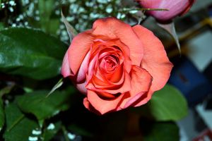 rose3 by MartieRM