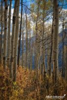 View Through the Aspen by mjohanson