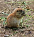 Prarie Dog 3 by Avahlon-Stock