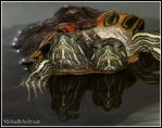 Two Headed Turtle by schultzy-1978