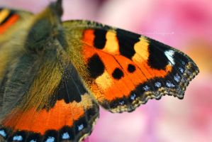Tortoiseshell Wing -No Cropping! by EHilsdonPhotography