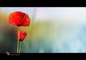 poppies by iustyn
