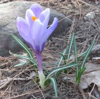 single Crocus by crazygardener