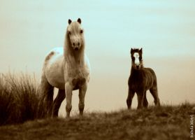 wild horses in sepia by imtl