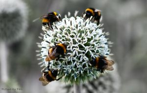 Bumblebees by PictureByPali