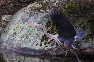Great Blue Heron Flight by sugartwins