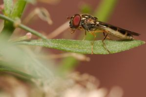 Hoverfly /003 by andabata