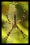Black and yellow Garden spider by Drigerphotography