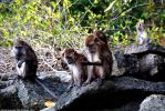 Long-tailed Grey Macaque Monkeys by DavidGrieninger