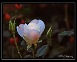 For Claudia by ShlomitMessica