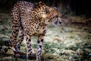 Cheetah 3 by nigel3