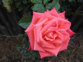 Rose 03 by tooterfish-popkin