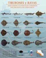 Benthic/Demersal Sharks and Rays of Costa Rica by Edestoid