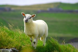 White Lamb 14160950 by StockProject1