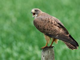 Swainsons Hawk - Proud by JestePhotography
