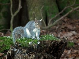 wray squirrel by harrietbaxter