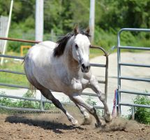 Grey quarter horse canter and turn towards cam by equustock