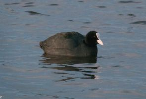 Common Coot by PenguinPhotography