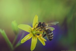 Bee by CliffWFotografie