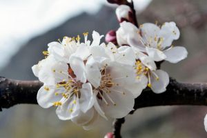 Apricot tree flowers by ZeeShiKing