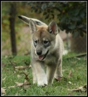 Persephone the Wolf-Dog Puppy by greensh