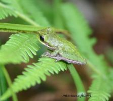 Green Tree Frog by Aries18o18