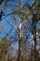 White Tree of Aullwood by MoonShadowPhoto