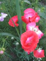 poppies by peaceocake