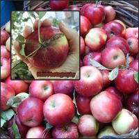 Apples by piticus41