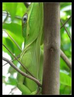 Anole_Mesh by Adamb22