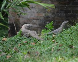 Garden. Sri Lanka. Monitor lizards. by jennystokes