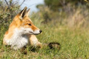 Relaxing Young Fox by AngelaLouwe