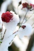 rose in the snow 8 by DaFabs